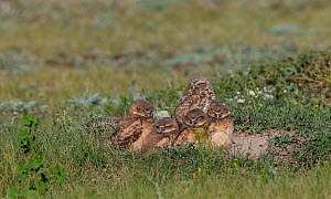 Burrowing owl (Athene cunicularia) adult with chicks, Grasslands National Park, Val Marie, Saskatchewan, Canada. July  -  Todd  Mintz