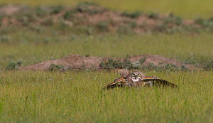Burrowing owl (Athene cunicularia) hunting, Grasslands National Park, Val Marie, Saskatchewan, Canada. July - Todd  Mintz