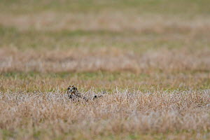 Short-eared owl (Asio flammeus) on ground, Saskatchewan, Canada. November  -  Todd  Mintz