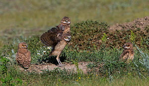 Burrowing owl (Athene cunicularia) group of chicks, Grasslands National Park, Val Marie, Saskatchewan, Canada. July  -  Todd  Mintz