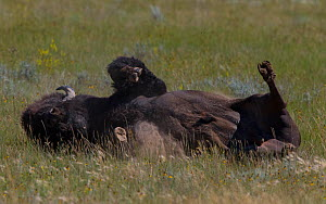 Bison (Bison bison) dust bathing, Grasslands National Park, Val Marie, Saskatchewan, Canada. July  -  Todd  Mintz