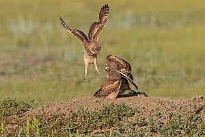 Burrowing owl (Athene cunicularia) juveniles play fighting,Grasslands National Park, Val Marie, Saskatchewan, Canada. June  -  Todd  Mintz
