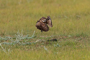 Burrowing owl (Athene cunicularia) young owlet testing its wings by jumping and flapping its wings to build strength.Grasslands National Park, Val Marie, Saskatchewan, Canada. June  -  Todd  Mintz