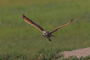 Burrowing owl (Athene cunicularia) in flight, Grasslands National Park, Val Marie, Saskatchewan, Canada. June.  -  Todd  Mintz