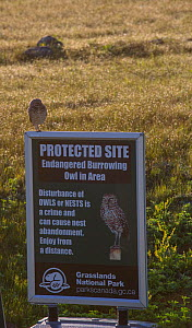 Burrowing owl (Athene cunicularia) on sign warning visitors about burrowing owl nest site in the area. Grasslands National Park, Val Marie, Saskatchewan, Canada.  -  Todd  Mintz