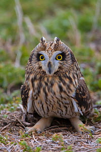 Short-eared owl (Asio flammeus) on the ground, Saskatchewan, Canada, November.  -  Todd  Mintz
