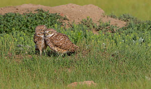 Burrowing owl (Athene cunicularia) pair preening on ground, Grasslands National Park, Val Marie, Saskatchewan, Canada. June  -  Todd  Mintz