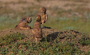 Burrowing owl (Athene cunicularia) chicks on the ground. Grasslands National Park, Val Marie, Saskatchewan, Canada. June  -  Todd  Mintz