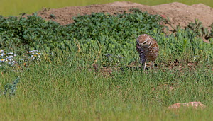 Burrowing owl (Athene cunicularia) on ground, Grasslands National Park, Val Marie, Saskatchewan, Canada. June  -  Todd  Mintz