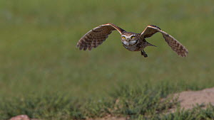 Burrowing owl (Athene cunicularia) in flight, Grasslands National Park, Val Marie, Saskatchewan, Canada. June  -  Todd  Mintz