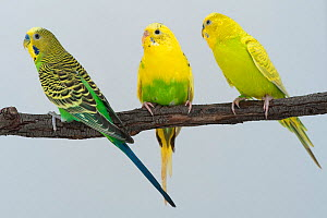 Budgerigar (Melopsittacus undulatus) domestic birds showing variations on the wild type yellow and green colouration. Left, wild type  adult male, middle recessive pied young female, right  adult male... - Roland  Seitre