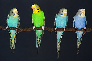 Budgerigars (Melopsittacus undulatus) domestic birds, showing different colour mutations. From left to right, juvenile yellow faced blue, adult female wild type, juvenile aqua blue and juvenile violet... - Roland  Seitre