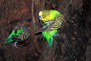 Budgerigar (Melopsittacus undulatus) male preening tail feathers. Captive. - Roland  Seitre
