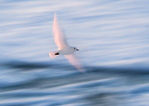 Ivory Gull (Pagophila eburnea) in flight, Svalbard, Norway September  -  Ole  Jorgen Liodden