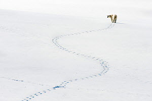 Polar bear (Ursus maritimus) and meandering footprints, Svalbard, Norway  -  Ole  Jorgen Liodden