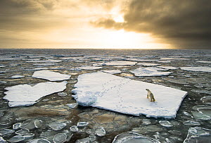 Polar bear (Ursus maritimus) on drifting ice, Svalbard, Norway September  -  Ole  Jorgen Liodden
