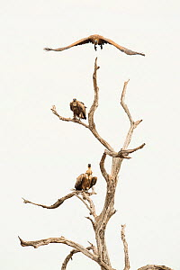 White backed vultures (Gyps africanus) in tree, South Africa  -  Ole  Jorgen Liodden