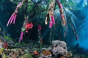 Mangroves (Rhizophora sp.) above coral reef encrusted with tunicates (Didemnum sp.), and Soft coral (Dendronephthya sp.). Mangrove Ridge, Yanggefo Island, Raja Ampat, West Papua, Indonesia.  -  Linda Pitkin