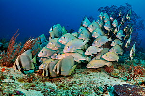 School of Blackfin sweetlips (Diagramma melanacrum), and Pinnate batfish (Platax pinnatus), sheltering on lower reef by large sea fan (gorgonian coral). Dampier Strait, Raja Ampat, West Papua, Indones... - Linda Pitkin