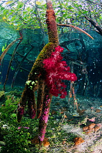Mangrove (Rhizophora sp.), with soft coral (Dendronephthya sp.) growing on the roots, and encrusting tunicates (including Didemnum sp.). Mangrove Ridge, Yanggefo Island, Raja Ampat, West Papua, Indone...  -  Linda Pitkin