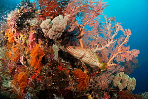 Slender grouper (Anyperodon leucogrammicus) sheltering by gorgonian sea fan and other corals on coral reef Cape Kri, Dampier Strait, Raja Ampat, West Papua, Indonesia, March 2016 - Linda Pitkin