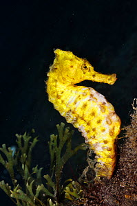 Spotted seahorse (Hippocampus taeniopterus) Lembeh Strait, North Sulawesi, Indonesia, March 2016  -  Linda Pitkin