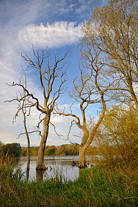 Dead Willow trees (Salix sp.), drowned by flooding, Coate water reservoir, Swindon, UK, November.  -  Nick Upton