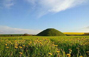 Silbury hill, a Neolithic artificial chalk mound, one of the world's largest man-made prehistoric mounds, surrounded by flowering Dandelions (Taraxacum officinale) and Rape (Brassica napus), Wiltshire...  -  Nick Upton