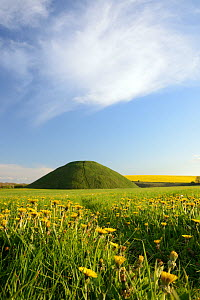 Silbury hill, a Neolithic artificial chalk mound, one of the world's largest man-made prehistoric mounds, surrounded by flowering Dandelions (Taraxacum officinale) and Rape (Brassica napus), Wilts...  -  Nick Upton