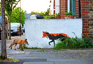 Urban Red fox (Vulpes vulpes) walking past wall with  red fox mural / graffiti . North London, England, UK, April. - Matthew Maran
