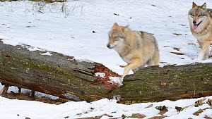 Grey wolf (Canis lupus) pack stepping over a fallen tree trunk in the snow, Bavarian Forest National Park, Germany, March. Captive. - Philippe Clement