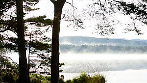 Panning shot of silhouetted pine trees and early morning mist rising from a lake, Loch Garten, Strathspey, Scotland, UK, September.  -  Philippe Clement