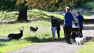 Sika deer (Cervus nippon) standing next to path, with joggers and walkers looking as they pass, Jaegersborg Dyrehaven, Denmark, October.  -  Philippe Clement