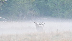 Tracking shot of a Red deer (Cervus elaphus) stag walking in the mist and calling, Jaegersborg Dyrehaven, Denmark, October. - Philippe Clement