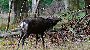 Sika deer (Cervus nippon) stag scent marking branch, Jaegersborg Dyrehaven, Denmark, October. - Philippe Clement