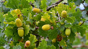 Close-up of Pedunculate oak (Quercus robur) acorns and leaves, Jaegersborg Dyrehaven, Denmark, October.  -  Philippe Clement