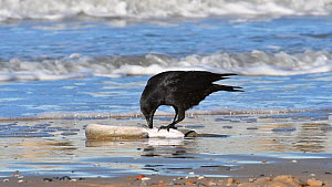 Carrion crow (Corvus corone) scavening on a dead European conger eel (Conger conger) washed ashore on beach, Belgium, December. - Philippe Clement