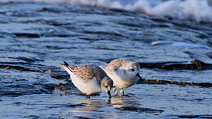 Sanderling (Calidris alba) with identification rings on beach, showing winter plumage, Belgium, December.  -  Philippe Clement