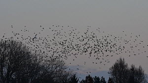 Flock of Jackdaws (Corvus monedula) congregating at dusk at communal roost, Belgium, December. - Philippe Clement