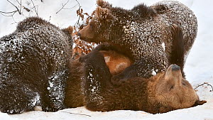 European brown bear (Ursus arctos arctos) cubs suckling from mother in  the snow in winter, Bavarian Forest National Park, Germany, January. Captive. - Philippe Clement
