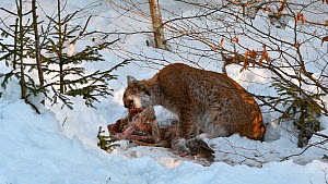 Lynx (Lynx lynx) feeding on a Roe deer (Capreolus capreolus) in snow in winter, with juvenile passing by, Bavarian Forest National Park, Germany, January. Captive. - Philippe Clement