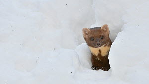 Pine marten (Martes martes) looking out from snow burrow in winter, Bavarian Forest National Park, Germany, January. Captive.  -  Philippe Clement