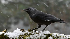 Leucistic Jackdaw (Corvus monedula) feeding during a snow shower, Belgium, February. - Philippe Clement