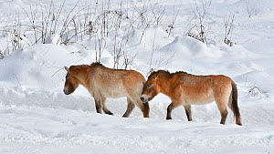 Przewalski's horses (Equus ferus przewalskii) walking in the snow in winter, Bavarian Forest National Park, Germany, January. Captive.  -  Philippe Clement