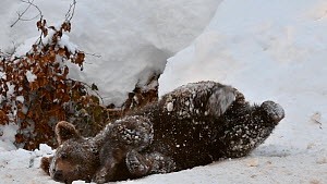 European brown bear cub (Ursus arctos arctos) playing at den entrance in the snow in winter, Bavarian Forest National Park, Germany, January. Captive.  -  Philippe Clement