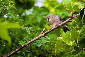 Seychelles grey white-eye (Zosterops modestus), Mahe Island, Republic of Seychelles. Vulnerable species.  -  Martin Gabriel