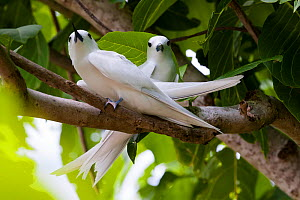 Fairy Tern (Gygis alba), couple, Cousin Island, Republic of Seychelles - Martin Gabriel