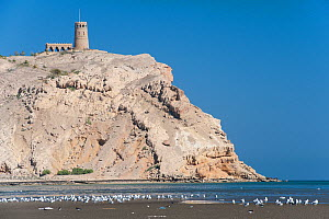 European Oystercatchers (Haematopus ostralegus) and gulls at the beach in front of As Sawadi Island with As Sawadi Fort, Sultanate of Oman, January.  -  Martin Gabriel