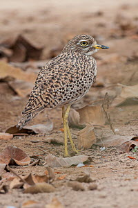 Spotted Thick-Knee (Burhinus capensis), Salalah, Sultanate of Oman, February. - Martin Gabriel