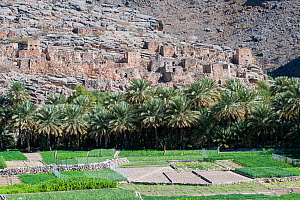 Ruins of a medieval village, date palms and small plots of crops, Wadi Ghul, Sultanate of Oman, February. - Martin Gabriel